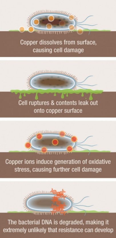 Copper dissolves from surface, causing cell damage. Cell ruptures & contents leak out onto copper surface. Copper ions induce generation of oxidative stress, causing further cell damage. The bacterial DNA is degraded, making it extremely unlikely that res
